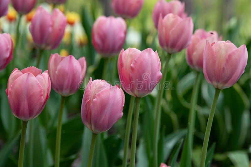 Piękni jasnoróżowi tulipany kwitnie w wiosna parku obraz royalty free