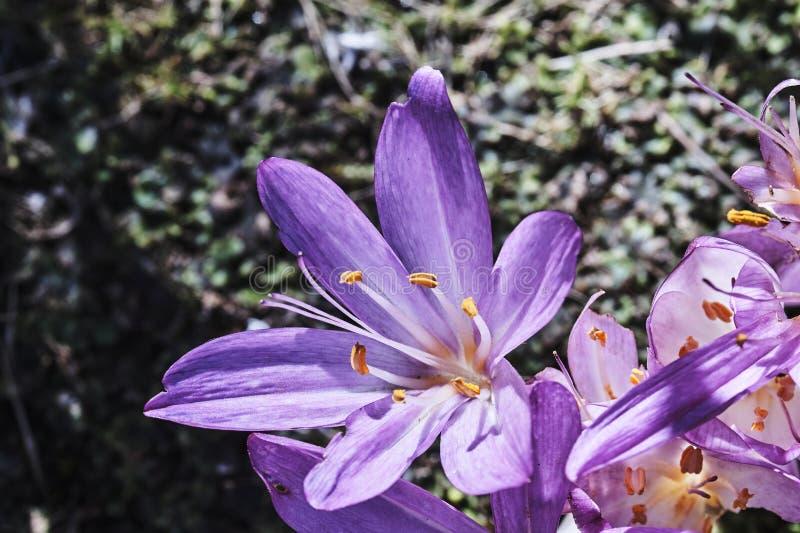Piękni jesień krokusa kwiaty obraz royalty free
