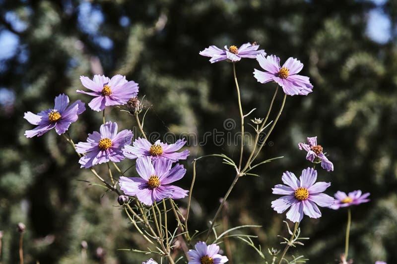 Piękni jesień krokusa kwiaty w lato ogródzie zdjęcia royalty free
