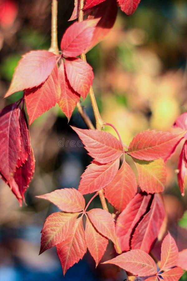 Piękni jesień liście wieszają w słońcu na jesień dniu, zdjęcia royalty free
