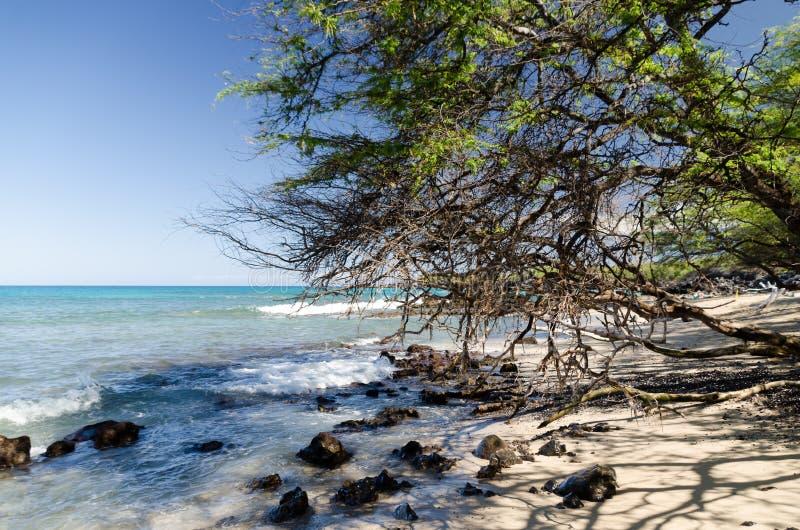 Piękni kiawe drzewa obramia spokój Waialea plaża zdjęcie stock