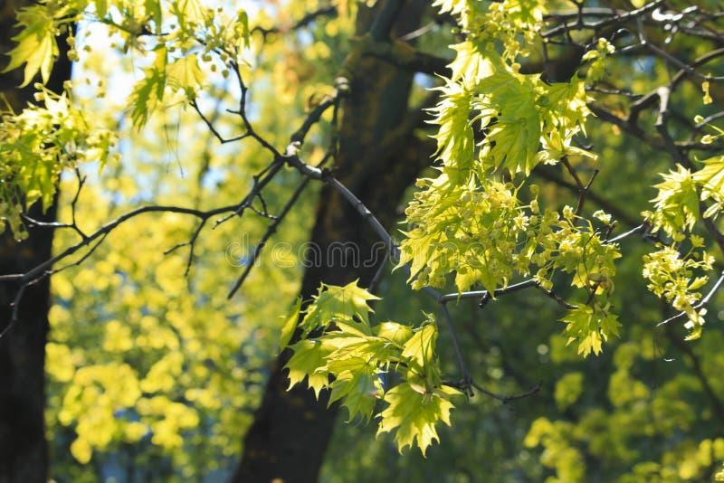 Piękni klon gałąź koloru żółtego kwiaty obraz stock