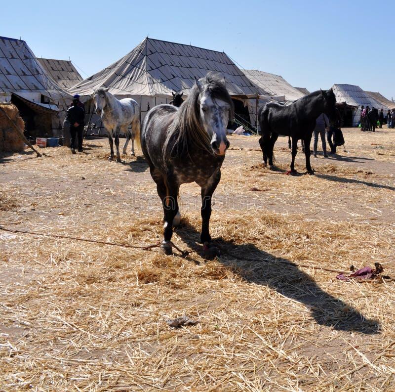 Piękni końscy Berbers w Maroko 4 - wizerunku jpeg obrazy stock