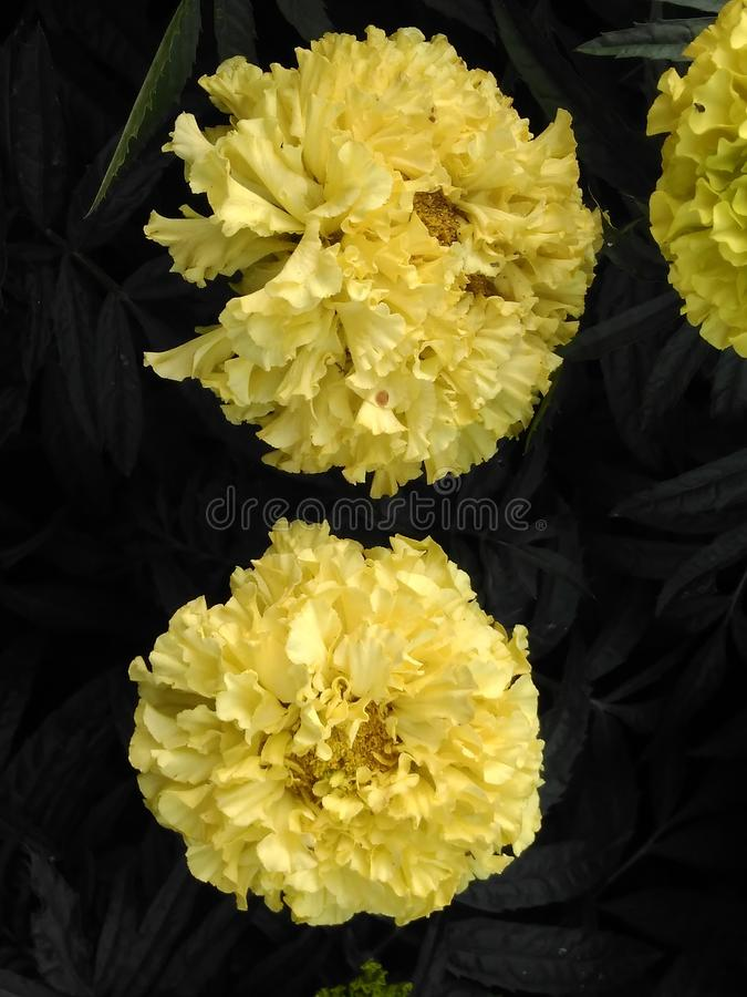 Piękni kolorów żółtych okwitnięcia, ogródów kwiaty zdjęcia royalty free