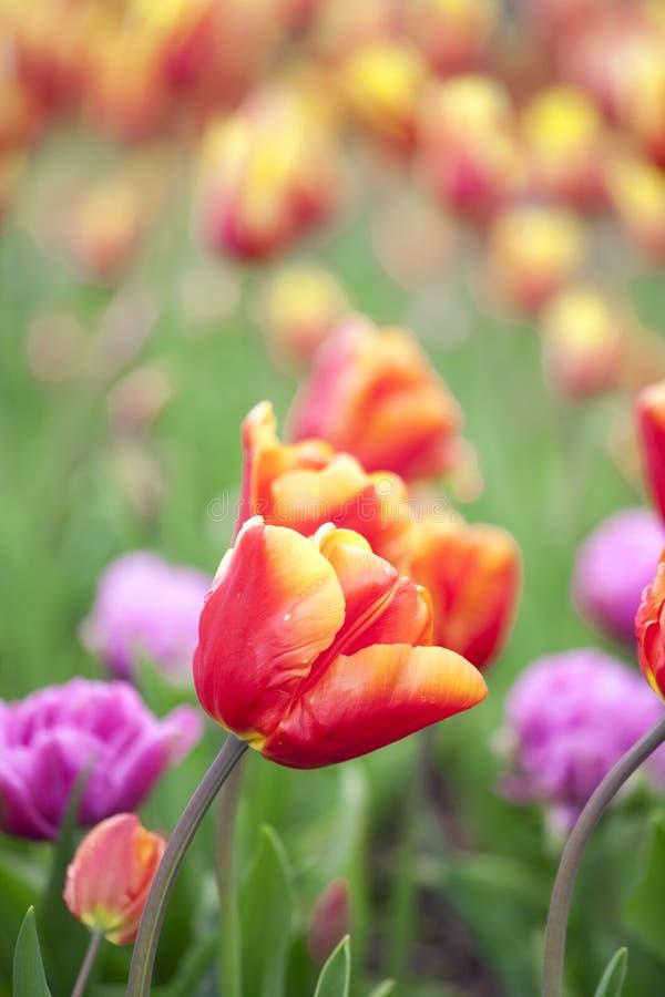 piękni kolorowi śródpolni tulipany obraz royalty free