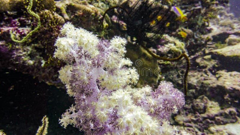 Piękni kolorowi miękcy korale w Maldives zdjęcie royalty free