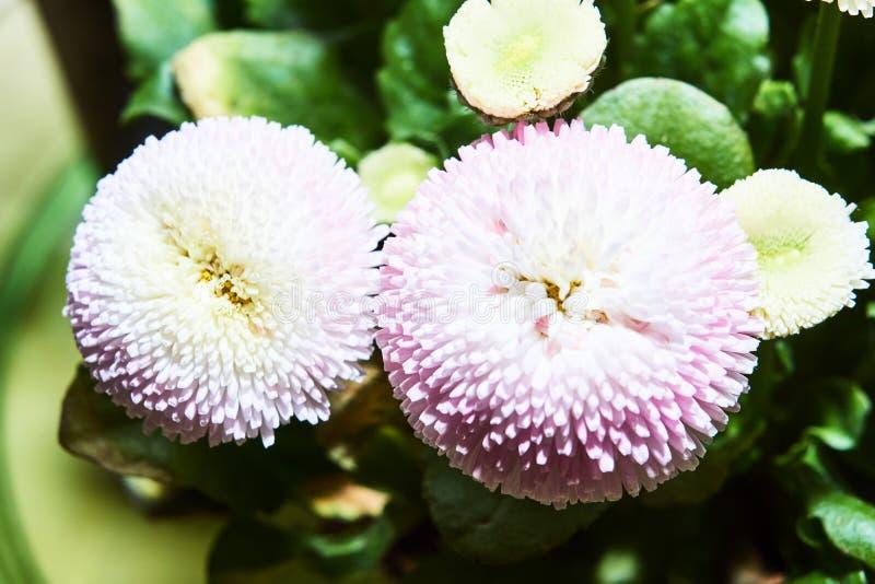 piękni kolorowi stokrotka kwiaty fotografia stock
