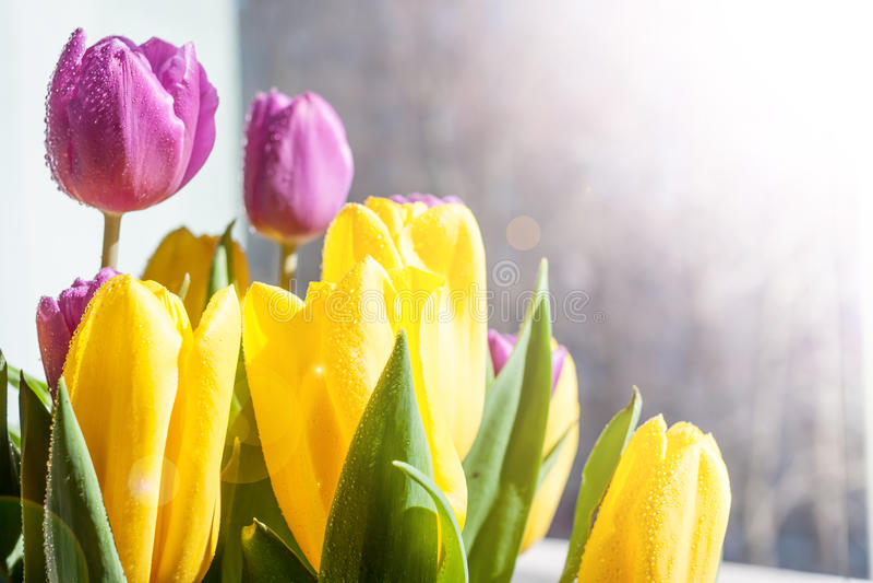 Piękni koloru żółtego i fiołka wiosny tulipany zdjęcie stock