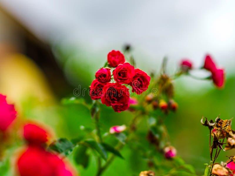 Piękni kolory róże w ogródzie, letni dzień zdjęcia royalty free