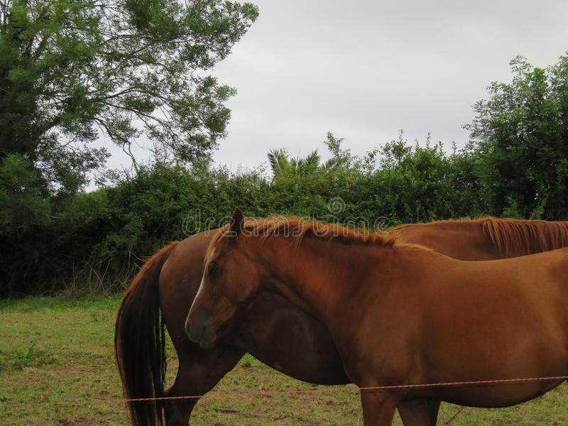 Piękni konie Czyste hiszpańszczyzny Ścigają się monitorującym each inny fotografia royalty free