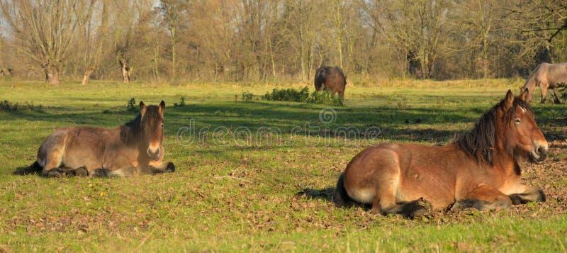 Piękni konie na polu obrazy stock