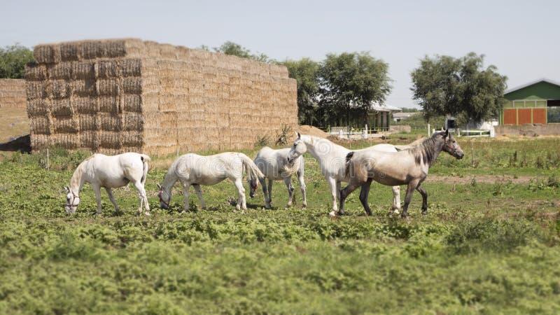 Piękni konie Przy Rolnym karmieniem przy paśnikiem obraz stock