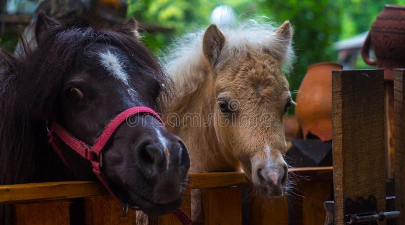 Piękni koniki w klatka zoo zdjęcie royalty free