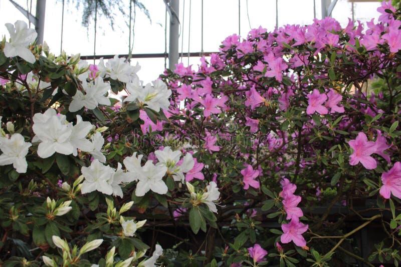 Piękni kwiaty azalie obrazy royalty free