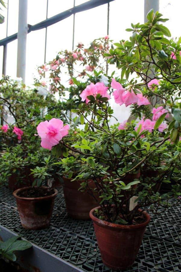 Piękni kwiaty azalie obraz royalty free