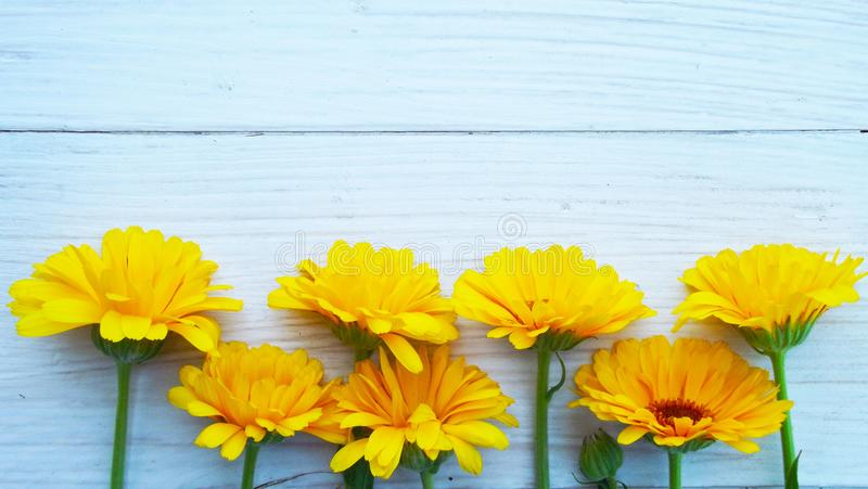 Piękni kwiaty calendula fotografia stock