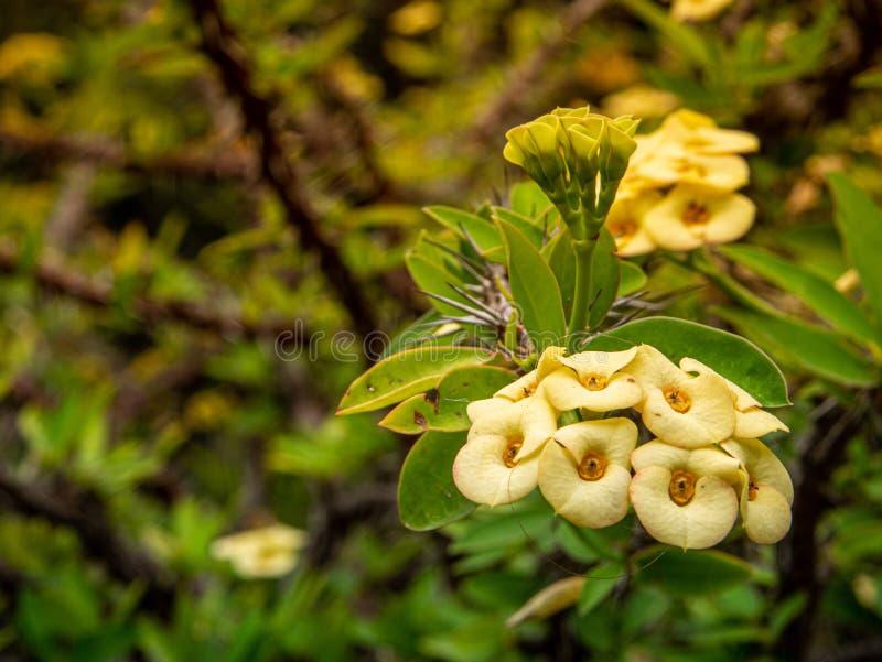 Piękni kwiaty Espina De Cristo od Madagascar obraz royalty free