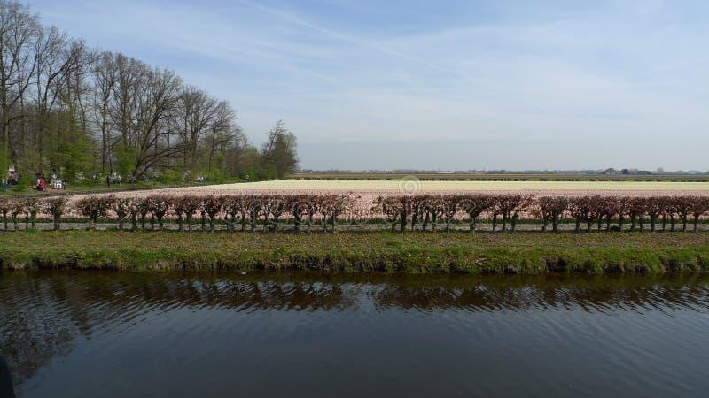 Piękni kwiaty holandie w wiośnie obraz stock