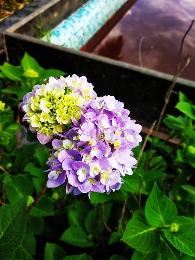 Piękni kwiaty i tło basen obrazy royalty free