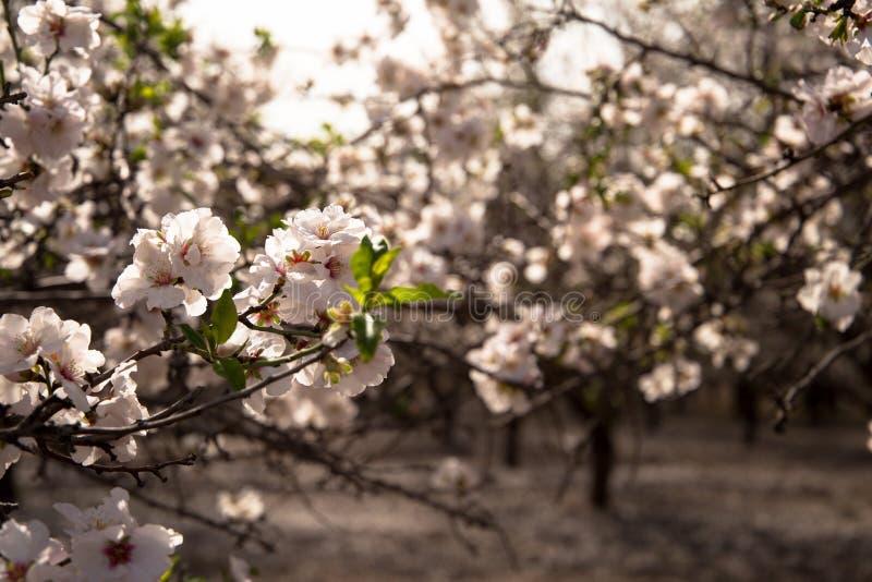 Piękni kwiaty kwitnąć migdałowego drzewa w wczesnej wiośnie nad tłem naturalny pole zdjęcie royalty free