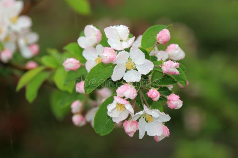 Piękni kwiaty kwitnie w wiośnie w jabłoni z wodnymi kropelkami po wiosna deszczu fotografia stock