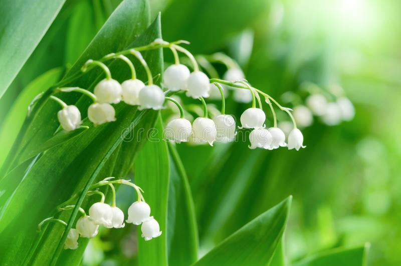 Piękni kwiaty leluja dolina zdjęcie royalty free