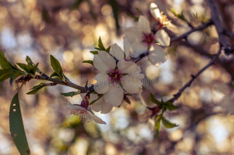 Piękni kwiaty na drzewnej wiośnie obraz royalty free