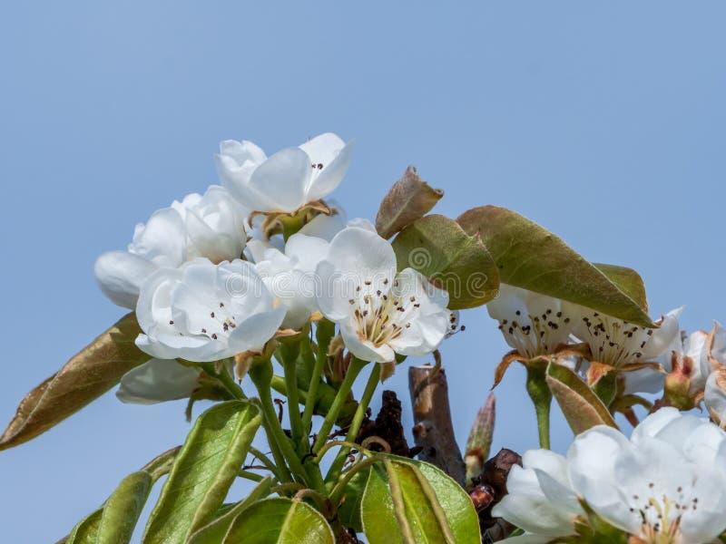 Piękni kwiaty odizolowywający z niebieskiego nieba tłem bonkrety drzewo obraz royalty free