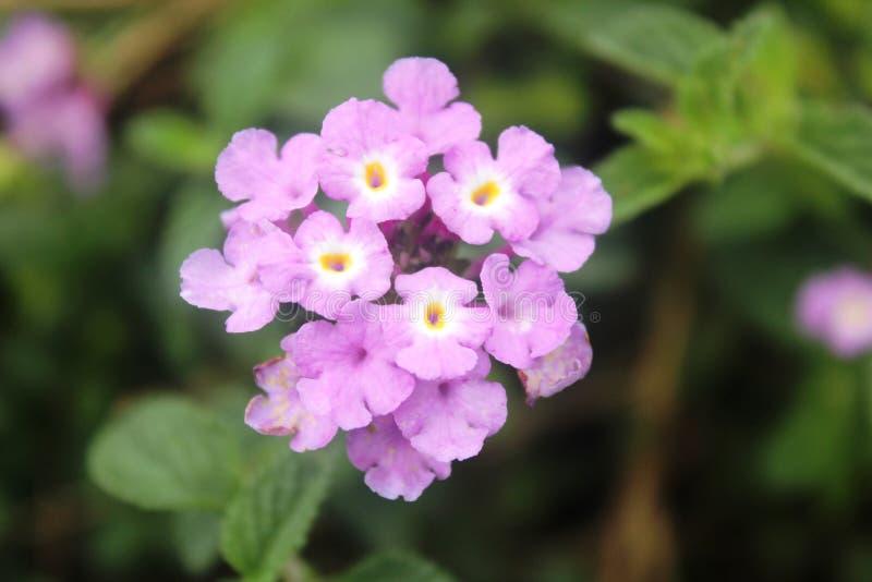 Piękni kwiaty purpurowy Pentas lanceolata fotografia royalty free