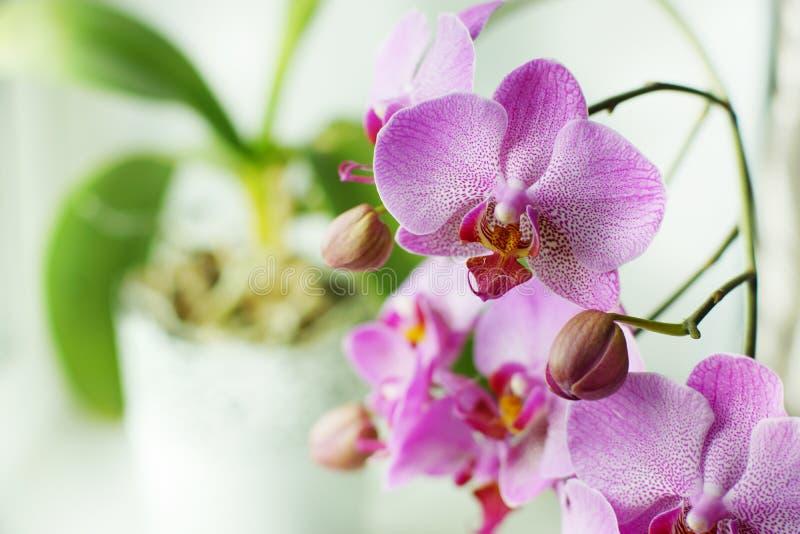 Piękni kwiaty różowa orchidea w białym flowerpot zdjęcie royalty free