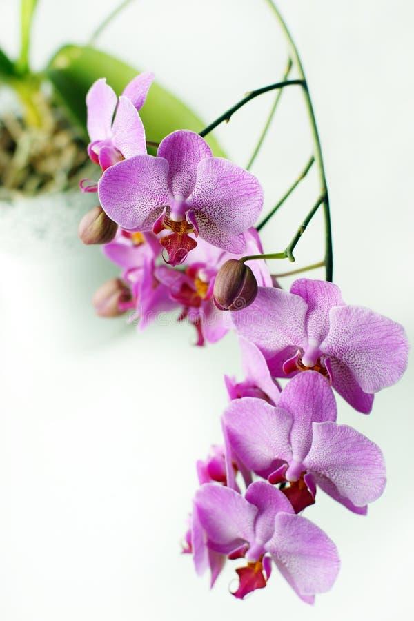 Piękni kwiaty różowa orchidea w białym flowerpot na windowsill obrazy stock