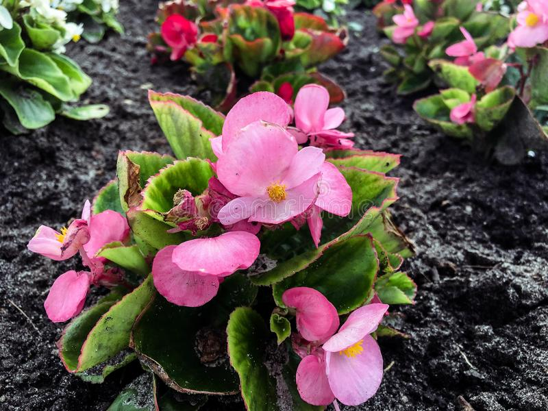 Piękni kwiaty w ogródzie w mieście zdjęcie royalty free