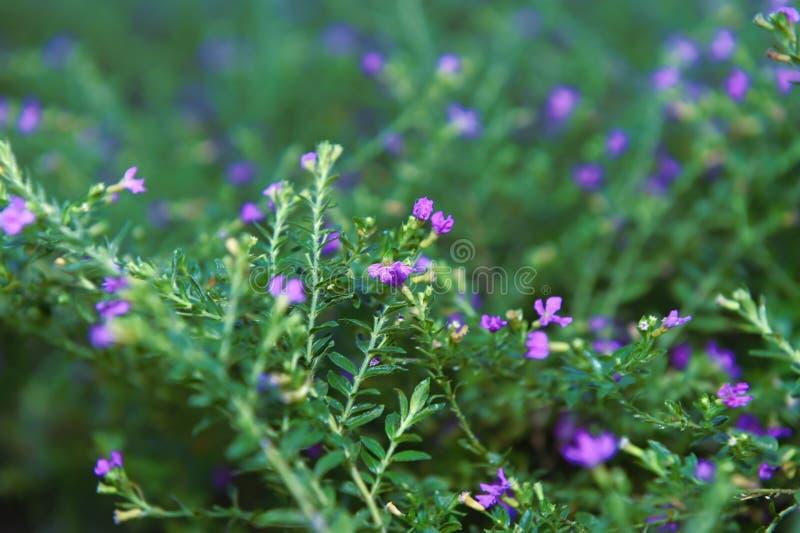 Piękni kwiaty z purplish błękita dziurami i kwiatów słupkowie obrazy royalty free