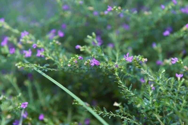 Piękni kwiaty z purplish błękita dziurami i kwiatów słupkowie zdjęcie stock