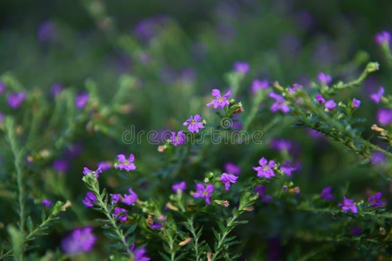Piękni kwiaty z purplish błękita dziurami i kwiatów słupkowie zdjęcia royalty free