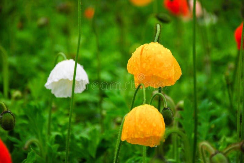 Piękni kwitnący Kukurydzanego maczka kwiaty obraz stock
