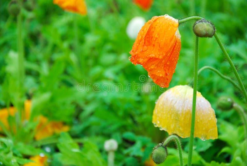 Piękni kwitnący Kukurydzanego maczka kwiaty obraz royalty free