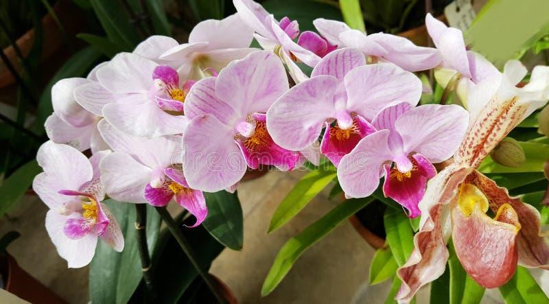 Piękni kwitnący orchidea kwiaty - zbliżenie fotografia stock