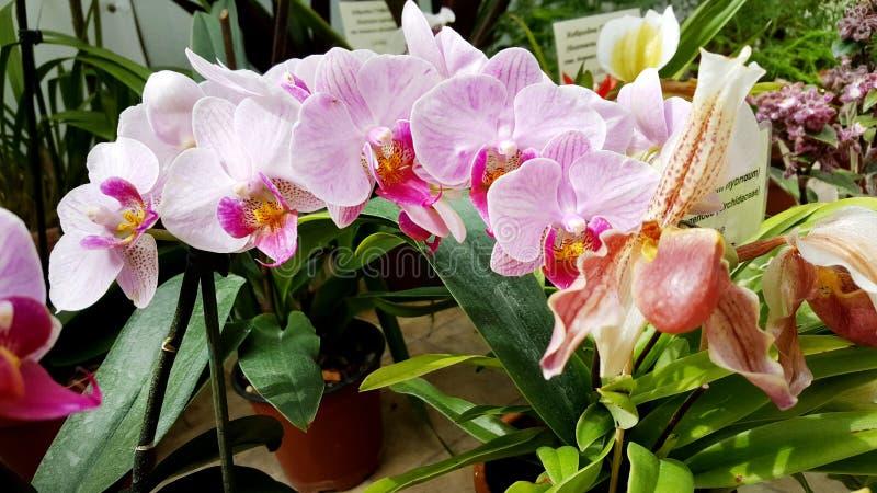 Piękni kwitnienie menchii orchidei kwiaty - zbliżenie zdjęcie stock