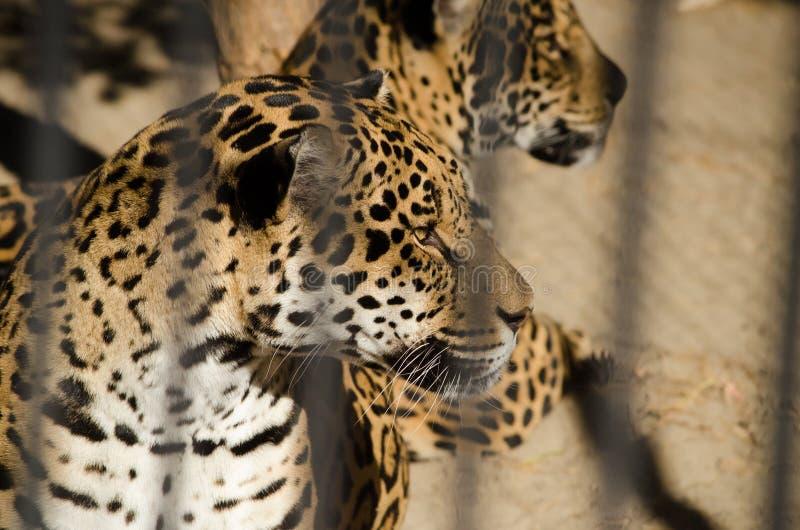Piękni lampartów koty w klatce przy zoo w lecie obraz royalty free