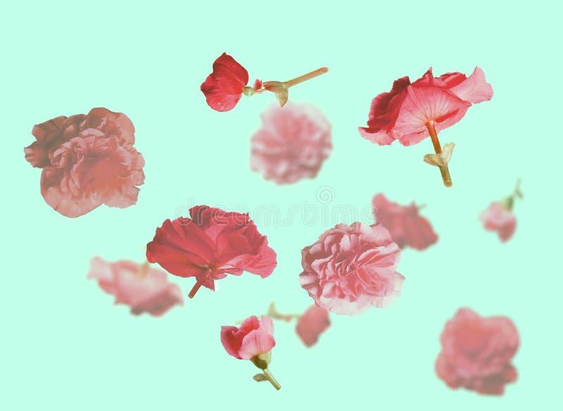 Piękni latający pastelowych menchii kwiaty i płatki przy bławym tłem, kreatywnie kwiecisty układ, horyzontalny fotografia stock