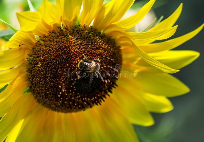 Piękni lato słoneczniki, kostrzewiasty bumblebee, naturalny zamazany b obrazy stock