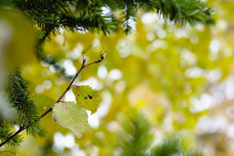 Piękni liście z żółtym bokeh obraz royalty free