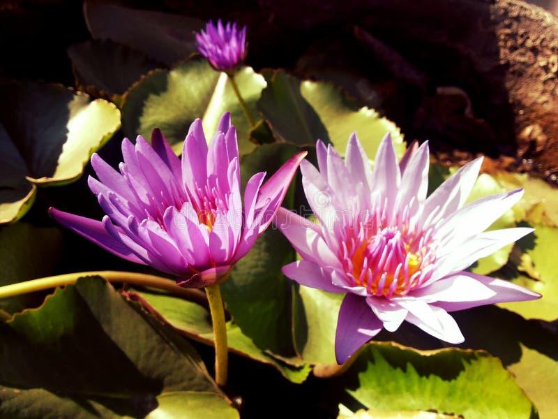 Piękni lotosowi kwiaty zdjęcia stock