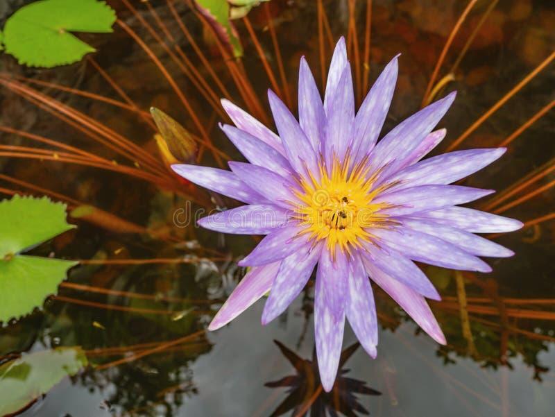 Piękni lotosowi kwiaty z Zielonym liściem w wodnym stawie obrazy royalty free