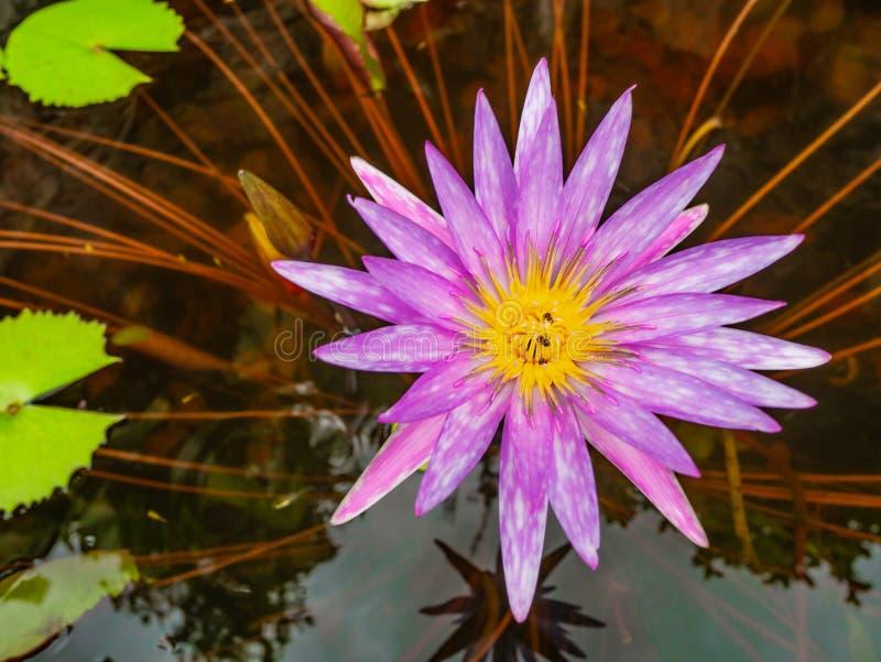 Piękni lotosowi kwiaty z Zielonym liściem w wodnym stawie zdjęcia stock