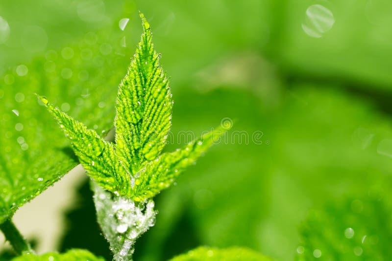 Piękni malinka liście w kroplach woda zdjęcie royalty free
