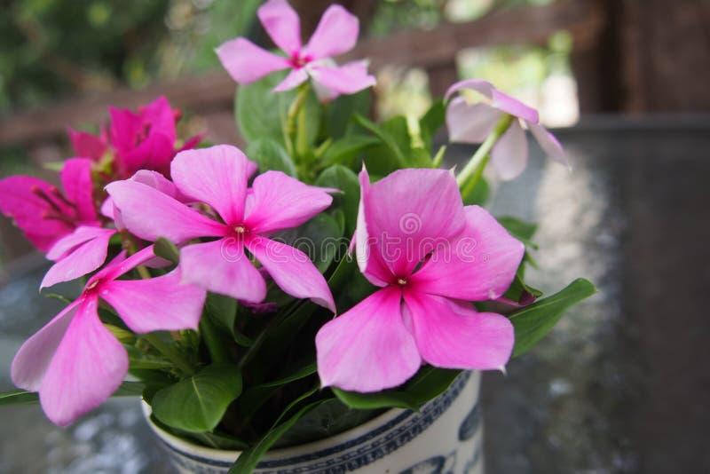 Piękni menchia kwiaty zdjęcie stock