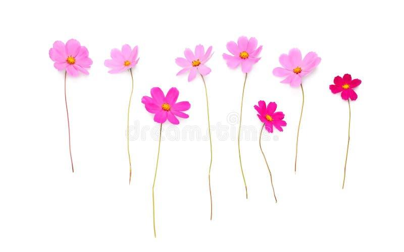 Piękni menchia kwiaty odizolowywający na białym tle zdjęcia royalty free