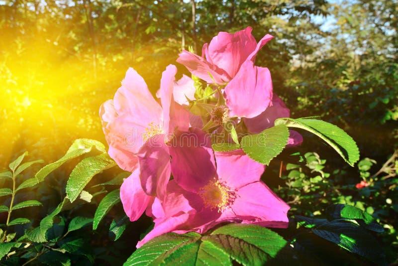 Piękni menchia kwiaty wzrastali w jaskrawym słońca zbliżeniu zdjęcia royalty free